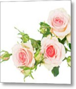 Garden Roses And Buds Metal Print
