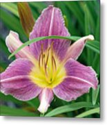 Violet Day Lily Metal Print