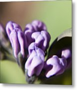 Virginia Bluebell Buds Metal Print