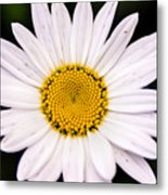 Virginia Daisy Metal Print