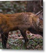Virginian Red Fox Metal Print