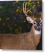 Virginian White Tail Buck Metal Print
