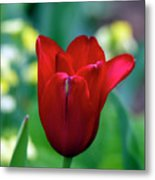 Vivid Red Tulip Metal Print