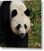 Waddling Giant Panda Bear In A Grass Field Metal Print