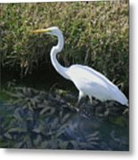 Wading For Dinner Metal Print
