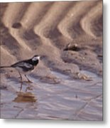 Wagtail On West Sands Metal Print