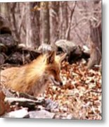 Waiting Fox Metal Print
