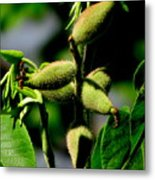 Walnut Buds Metal Print