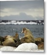 Walruses With Giant Tusks At Arctic Haul-out Metal Print