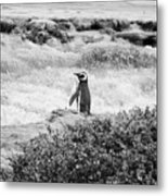 Wandering Penguin From Argentina Metal Print