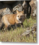 Wary Red Fox Metal Print
