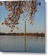 Washington Monument With Cherry Blossoms Metal Print