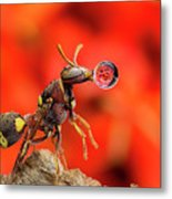Wasp Blowing Bubble 160507c Metal Print