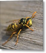 Wasp Close-up Metal Print
