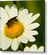 Wasp On Daisy Metal Print