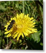 Wasp Visiting Dandelion Metal Print