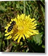 Wasp Visiting Dandelion Metal Print