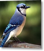 Watchful Blue Jay Metal Print
