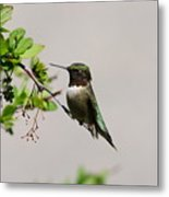 Watchful Male Hummer Metal Print