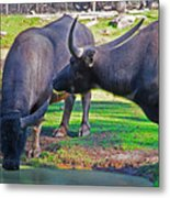 Watching 2 Water Buffalos 1 Water Buffalo Watching Me Metal Print