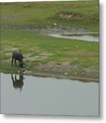 Water Buffaloe Metal Print
