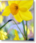 Water Color Daffodil Metal Print
