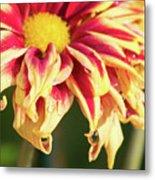 Water Drop On A Chrysanthemum Metal Print