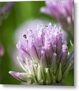 Water Droplets On Chives Flowers Metal Print