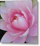 Water Drops On Water Lily Metal Print