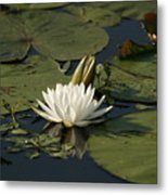 Water Lilies And Pads Metal Print