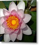 Water Lilly Beauty Metal Print