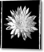 Water Lilly II Metal Print