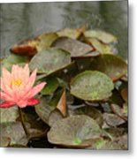 Water Lilly In Summer Metal Print