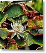 Water Lilly With Brown Pads Metal Print