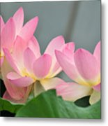 water lily 57 Pink Lotus Metal Print