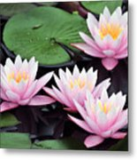 water lily 91 Sunny Pink Water Lily Metal Print