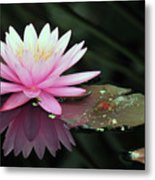 water lily 92 Sunny Pink Water Lily with Lily Pad Metal Print