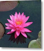 Water Lily - Afternoon Delight Metal Print