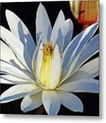 Water Lily At Dusk Metal Print