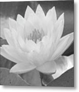 Water Lily - Burnin' Love 15 - Bw - Water Paper Metal Print