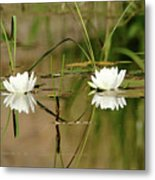Water Lily Duet Metal Print