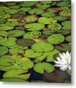 Water Lily Metal Print by Elisabeth Van Eyken