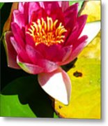 Water Lily Fc 2 Metal Print by Diana Douglass