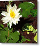 Water Lily From Private Garden Metal Print