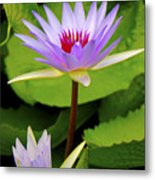 Water Lily In A Tropical Garden_4657 Metal Print