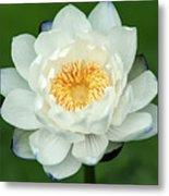 Water Lily In Bloom Metal Print