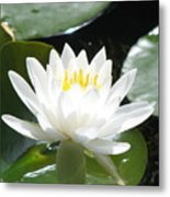 Water Lily Lovely Metal Print