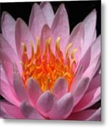 Water Lily On Fire Metal Print