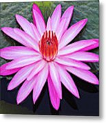 Water Lily-st Lucia Metal Print