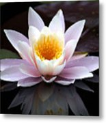 Water Lily With Reflection  Metal Print
